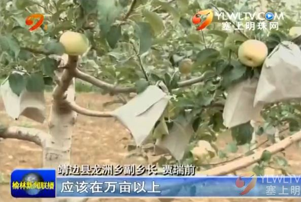 靖边县龙洲乡:果树产业 兴农富民